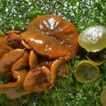 Salon du champignon 2012 - Ionomidotis fulvotingens