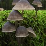 Salon du champignon 2012 - Mycena algeriensis