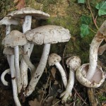 Salon du champignon 2012 - Psathyrella cotonea